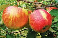 Саженцы яблонь иммунных к парше