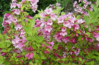 Вейгела цветущая 50-70 см.