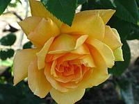 «Полька». Плетистая роза.
