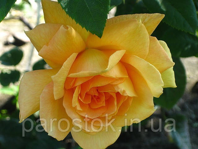 плетистая роза полька