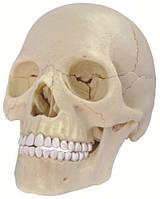 Объемная анатомическая модель 4D Master Череп человека (26086)