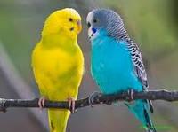 Волнистые попугаи взрослые  пара