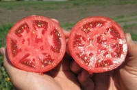 Семена томата Багира F1 5 г F1 (детерминантный)