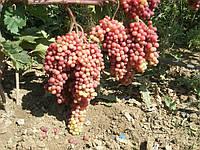 Саженцы винограда Велес ( кишмиш очень ранний)