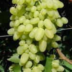 Саженец винограда Долгожданный ( кишмиш ) очень ранний)