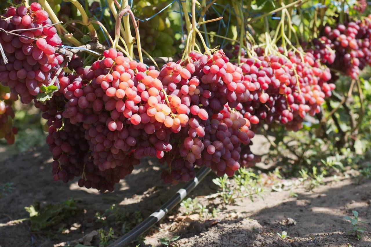 Виноград велес описание