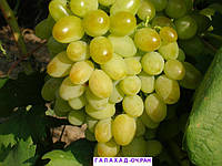 Саженцы винограда Галахад (сверх ранний)