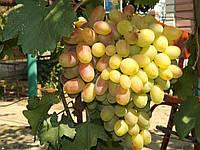 Саженцы винограда Юбилей Новочеркасска (ранний)