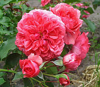 Роза Розариум Ютерзен. Полуплетистая роза. ()