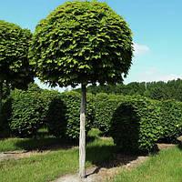 Саженцы Клена высотой до 4 метров
