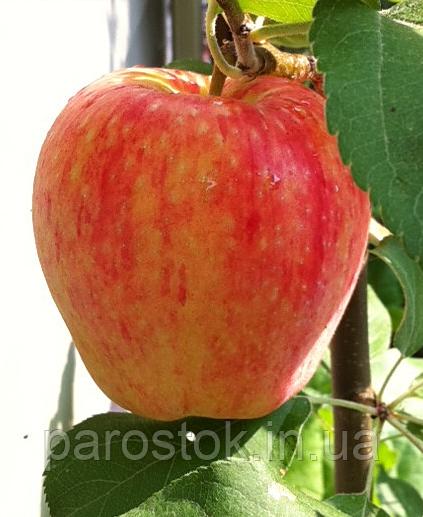 Яблоня хоней крисп зимний сорт мс