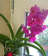 Орхидея Ванда розовая 50см.