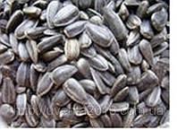 Семена подсолнечника Ясон, Дарий, Форвард., фото 1