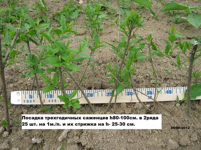 Когда лучше сажать бирючину весной или осенью 15