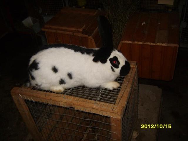 Кролики породи німецький строкатий