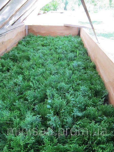 Выращивание туи в домашних 629
