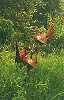 Чучела фазанов