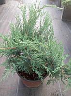 Можжевельник казацкий Мас(Juniperus sabina Mas) d 55-60 см -80 грн