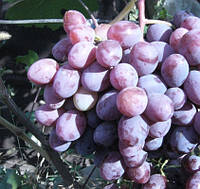 Саженцы винограда Памяти учителя (очень ранний)