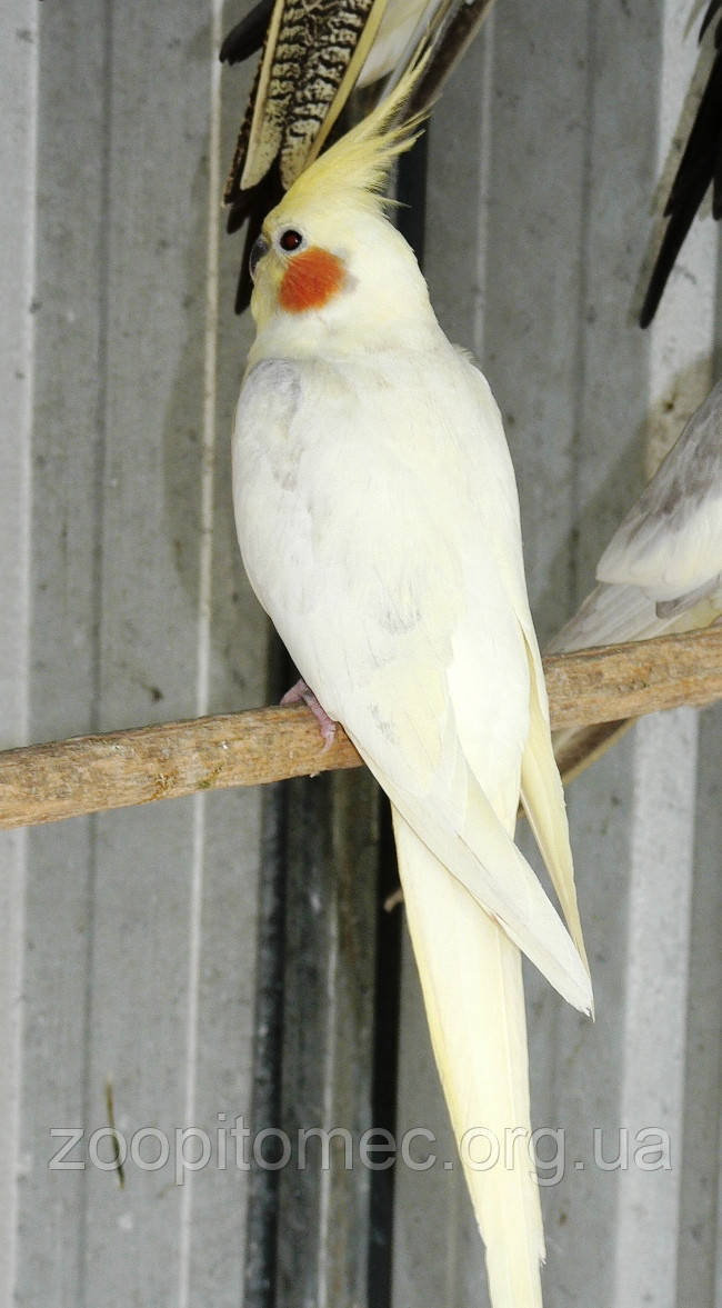 купить попугая корелла в витебске