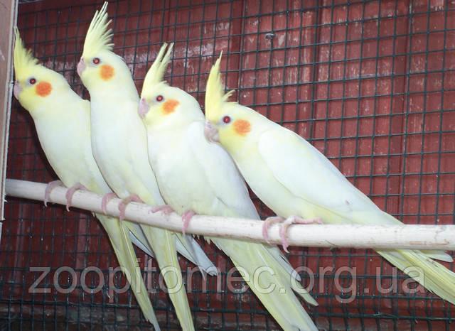 купить попугая корелла в курске