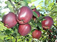 Саженцы яблони Червона рута