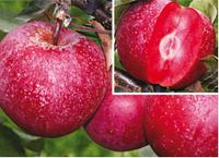 Саженцы яблони Сирена