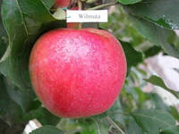 Саженцы яблони Вильмута