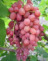 Саженцы винограда сорт Кишмиш лучистый