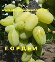 Сорт винограда Гордей, селекция Бурдака