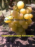 Виноград,Саженцы купить, сорт Золотая Королева