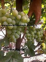 Саженцы винограда привитые, сорт Памяти Друга