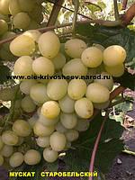 Продажа саженцев,сорт винограда Мускат Старобельский