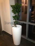 Дерево Бонсай Фикус лечуза (белый)