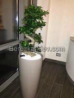 Дерево Бонсай Фикус лечуза (серый)