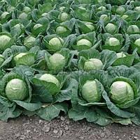 Капуста белокочанная Калорама F1 1000 семян (калиброванные)