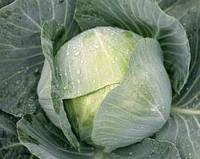 Капуста белокочанная Мультима F1 1000 семян (калиброванные)
