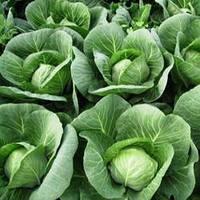 Капуста белокочанная Силима  F1 1000 семян (калиброванные)
