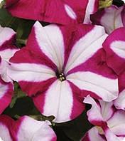 Семена цветов петунии Ампельной Burgundy Star 100 драже