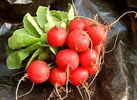 Семена редиса Селеста F1 50 000 шт, калибр. 2,75 -3,00 мм