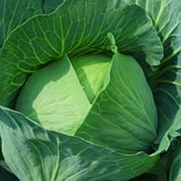 Семена белокочанной капусты Бронко F1 2500 шт