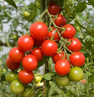 Семена томата черри Сакура F1 250 семян