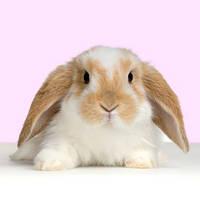 Кролик Вислоухий-баран