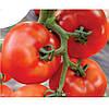 Семена томата Аттия 73-667. 1000 сем.Рийк цваан.