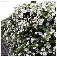 Семена цветов бакопы Адам White 100 драже