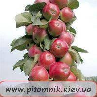 Колоновидная яблоня Сорт Джин