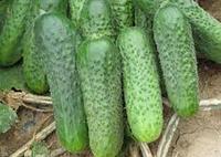 Семена огурца Джустина F1 1000 шт. самоопыляемый