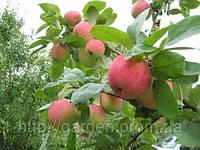 Плодовые деревья: подбор, продажа, доставка, посадка.