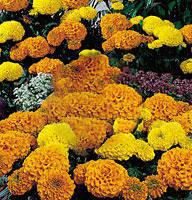 Семена цветов Бархатцы Америк. Кабери Микс 100 семян