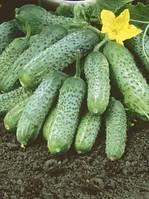 Семена - Огурец Пасамонте ( Сингента, Швейцария) 10шт